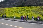 伊予・双海町で恒例「しおかぜウオーク」 沿線に咲く菜の花見ながら16キロ