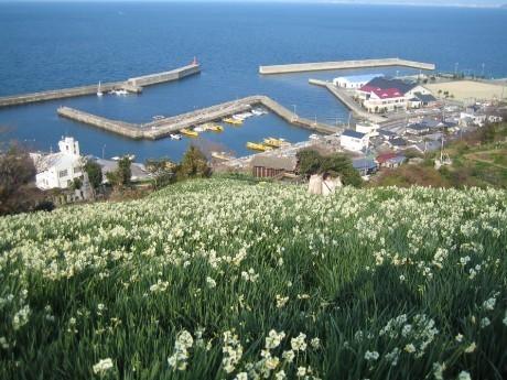 伊予・双海町で「水仙花祭り」 鉢植えや切り花を展示即売