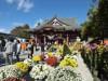 日本最古の笠間菊まつり開催 日本三大稲荷の笠間稲荷神社で