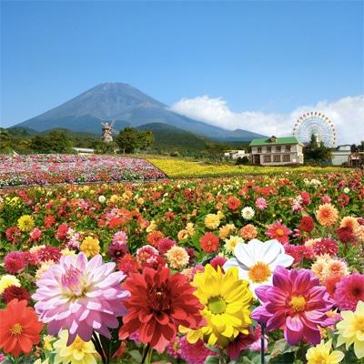 富士山の裾野 天空のダリア ...