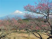 富士市の岩本山公園で富士山と梅・桜「絶景」イベント