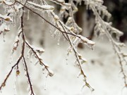 富士山麓に「氷の森」現れる 雨氷に覆われた樹木