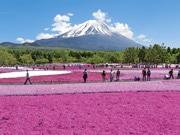 「富士芝桜まつり」今年も開催へ 80万株のシバザクラと富士山の競演