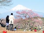 富士市の岩本山公園で梅見頃 「観梅ウエディング」も