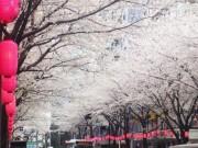 「中野通り桜まつり」開催へ 桜のトンネルをハーレーがパレード、人力車で花見も