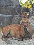 福耳の鹿、愛らしい姿で人気に まるで「大仏様の鹿」?