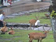 奈良・若草山で白昼堂々、土産店から紙の束盗む 犯人は「鹿」