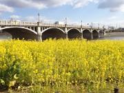 西宮・武庫川に黄色のじゅうたん 河川敷の菜の花が満開に