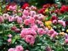 西宮・瓦林公園のバラ、見頃に 12種・400株超が開花
