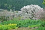 秋川渓谷で春の花を巡るツアー 地元の観光ボランティアがガイド