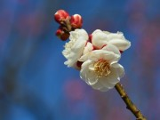 小田原フラワーガーデンで恒例「梅まつり」 200品種の梅がほぼ三分咲き