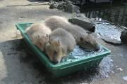大宮小動物園でカピバラの「湯あみ」 湯を楽しむ様子が人気