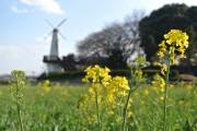 さいたまで「なの花まつり」 風車背に広がる花畑