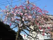 さいたまの住宅街に源平しだれ桃 1本の木に3色の花、道行く人を楽しませる