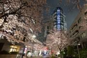 桜満開の六本木ヒルズで「春まつり」 グルメ屋台や屋上庭園特別公開も