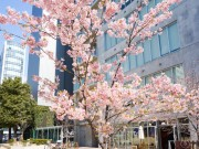 大阪本町のビジネス街にサクラ咲く 一本だけの河津桜が満開