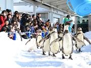 ペンギンが雪の上をパレード 仙台うみの杜水族館で期間限定イベント