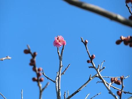 仙台市農業園芸センターで梅が開花 春の足音そこまで