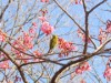 新馬場・荏原神社のカンヒザクラが開花 例年より約1週間早く