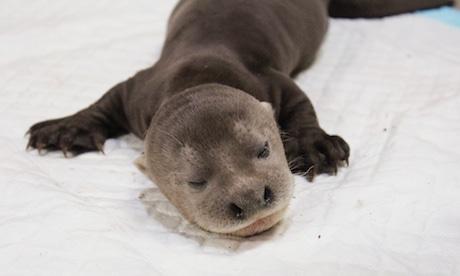 アジア初、オオカワウソの赤ちゃん誕生-星4つの動物園でベビーラッシュ 8月に生まれたオオカワウソ