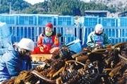 立川「牡鹿半島を支援する会」がボランティア募集 最後のワカメ収穫バスツアー