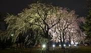前橋の「しだれ桜」が満開に 「祇園の夜桜」の孫木、夜はライトアップ