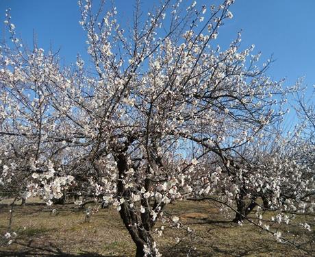 東日本一の梅産地に春の便り 例年よりちょっと早く「梅まつり」開幕