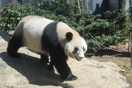 ジャイアントパンダの画像 p1_7