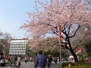 上野公園の桜が一部見頃に-東京都心の開花は31日の予想