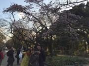 上野公園のカンザクラが見頃に 観賞者でにぎわう