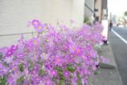 谷中の筆店「タカヤマ」前の「さくら草」見頃に 4月中旬まで
