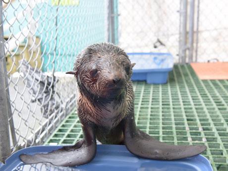 バンクーバー水族館で57年ぶり、北オットセイの赤ちゃん保護