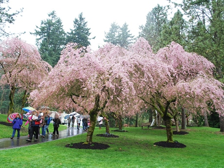 10000 People in 'Japan Fair' -Soak in Cherry Trees in Full Bloom and Japanese Cultures
