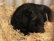 和歌山公園動物園のクマ園長「ベニー」が冬眠 例年より早めに
