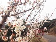 和歌山・みなべ町の岩代大梅林が開園 2月中旬から下旬が見頃に