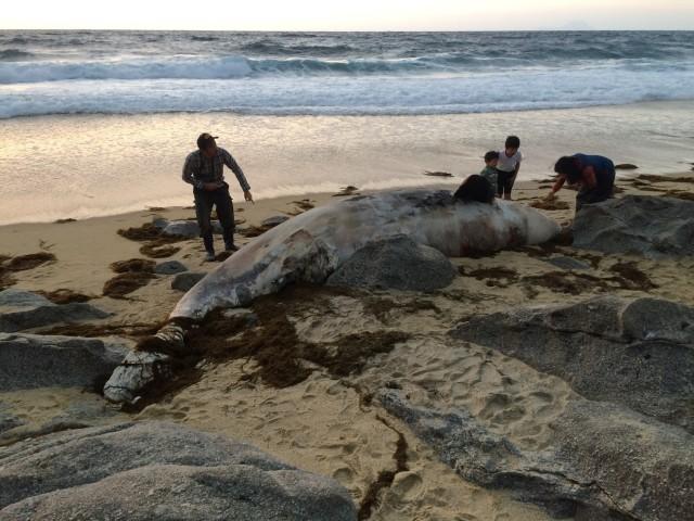 屋久島の砂浜に謎の海洋生物 大きな体に驚く見物人