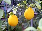 雪の山形でレモンが実ったと話題に 地元農家が無農薬栽培、土作りに意気込み