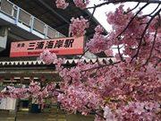 三浦海岸、駅看板もサクラ色 駅前の河津桜が満開に