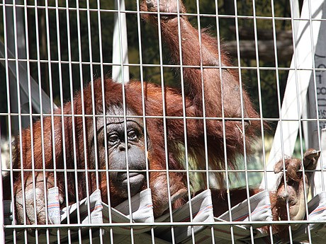 天王寺動物園のボルネオオランウータン「サツキ」(2012年9月17日撮影)