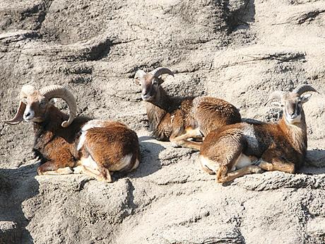 天王寺動物園に入園したムフロン3頭