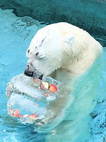 プールで氷柱を抱えるホッキョクグマのゴーゴ
