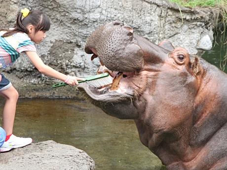 カバのテツオに歯磨きする女児