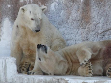 天王寺動物園のホッキョクグマ「バフィン」(左)と「ゴーゴ」(1月29日撮影)