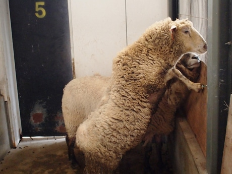 天王寺動物園に寄贈された雌の羊(写真=同園提供)