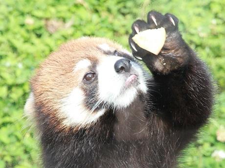 天王寺動物園に来園したレッサーパンダの「メル」