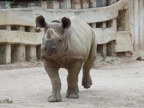 天王寺動物園に来園したクロサイ「サミア」(写真=同園提供)