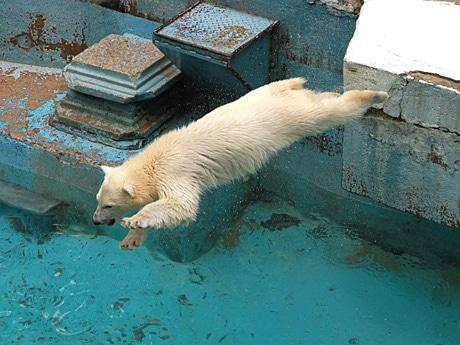 プールに飛び込むホッキョクグマ「モモ」