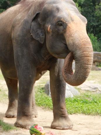 アジアゾウ「ラニー博子」にスイカをプレゼント