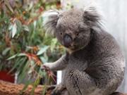 天王寺動物園でコアラ2頭公開へ 帰ってきた「アーク」など