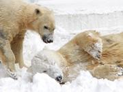 天王寺動物園、ホッキョクグマに雪のプレゼント